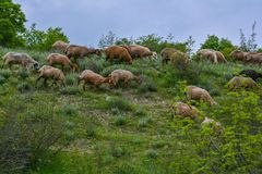Flock of sheep on hill slope Stock Photography
