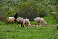 Flock of sheep on hill slope Stock Images