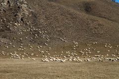 Flock of sheep on the hill Royalty Free Stock Photos