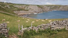 Flock of sheep on hillside at the coast Fall Bay The Gower peninsula South Wales UK near to Rhossili beach stock video footage