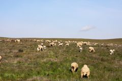 Flock of Sheep on a Hillside. Flock of sheep grazing on a hill top pasture royalty free stock photos