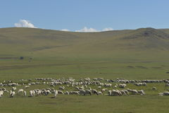 The Flock of sheep on the Hulun Buir Grassland Royalty Free Stock Photos