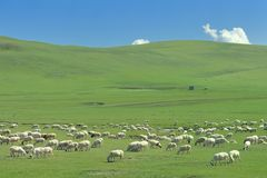 The Flock of sheep on the Hulun Buir Grassland Stock Photography