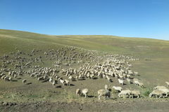 The Flock of sheep on the Hulun Buir Grassland Royalty Free Stock Photo