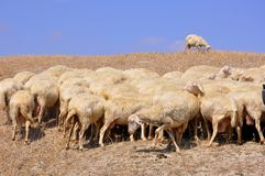 Flock of sheep in Italy. Flock of sheep and one lost sheep on the hills of Tuscany, Italy. Italian agriculture royalty free stock images