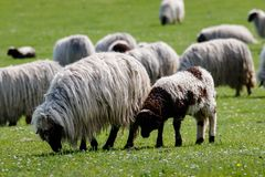 Flock of sheep, a lamb atached to it`s mother stock photography
