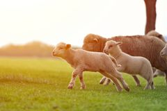 Happy little lamb running and jumping in sunrise warm light on beautiful meadow. Flock of sheep and lamb running on beautiful mountain meadow in sunrise warm royalty free stock photos