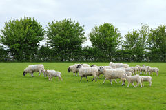 Flock of Sheep and Lambs. Flock of Woolly Sheep and Newborn Lambs in a Green Field Stock Images