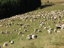 Flock of sheep lambs and goats grazing  in the mountains Royalty Free Stock Images