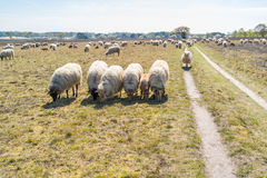 Flock of sheep and lambs graze on heath, Netherlands Royalty Free Stock Photos