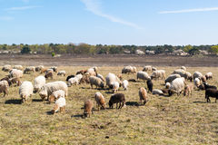 Flock of sheep and lambs graze on heath, Netherlands Royalty Free Stock Images