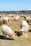 Flock of sheep and lambs graze on heath, Netherlands Royalty Free Stock Photography