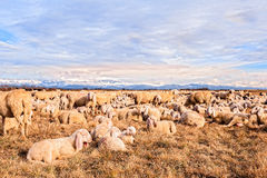 Flock of sheep with lambs. They grazed in winter day. Stock Photography