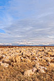 Flock of sheep with lambs. They grazed in winter day. Royalty Free Stock Photo