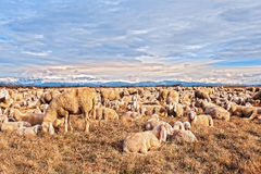 Flock of sheep with lambs. They grazed in winter day. Royalty Free Stock Photography