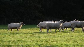 Flock of sheep or lambs grazing on grass in English countryside farm field, England. Great Britain during summer evening stock footage