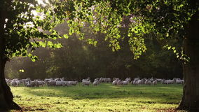Flock of sheep or lambs grazing on grass in English countryside field between trees, England stock video footage