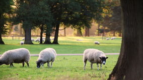 Flock of sheep or lambs grazing on grass in English countryside field between trees, England stock video