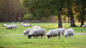 Flock of sheep or lambs grazing on grass in English countryside field stock video footage