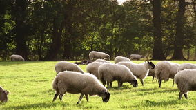 Flock of sheep or lambs grazing on grass in English countryside field stock footage