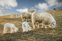 Flock of sheep and lambs Stock Photo