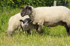 Flock of Sheep on Langeness Stock Photos