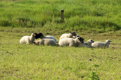 Flock of Sheep on Langeness Royalty Free Stock Images