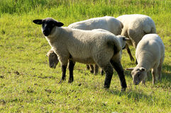 Flock of Sheep on Langeness Royalty Free Stock Image