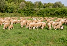 Flock of Sheep on the lawn. Royalty Free Stock Images