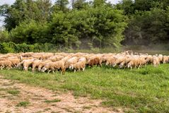 Flock of Sheep on the lawn. Royalty Free Stock Photos