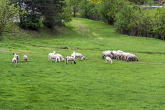 Flock of sheep on the lawn Royalty Free Stock Images