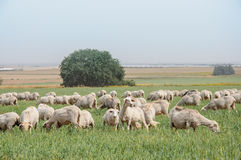 Flock of sheep on the lawns. Of israel Royalty Free Stock Photo
