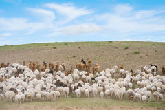 Flock of sheep led by goats. Uphill stock photo