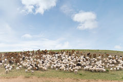 Flock of sheep led by goats. Uphill royalty free stock images