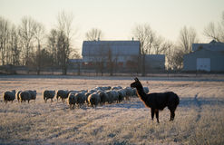 Flock of Sheep and LLama. A flock of sheep heading towards the barn with llama watching on a cold fall morning with frost on the grass stock photography