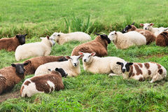 Flock of sheep lying in a green meadow, Netherlands Royalty Free Stock Photos