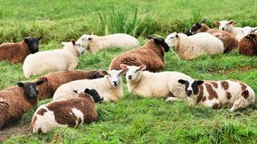 Flock of sheep lying in a green meadow royalty free stock photo