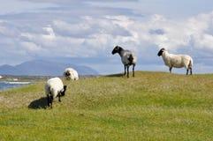 Flock of sheep, Mannin Bay (Ireland) Stock Photos