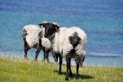 Flock of sheep, Mannin Bay (Ireland) Stock Image
