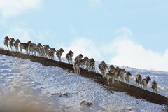 Flock of sheep Marco Polo on vacation. Marco Polo on the hillside. Tien Shan Royalty Free Stock Images