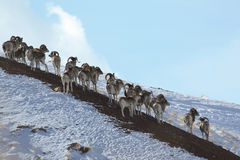 Flock of sheep Marco Polo on vacation. Marco Polo on the hillside. Stock Photography