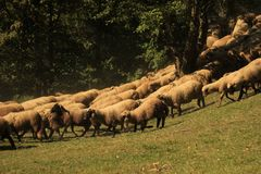 Flock of sheep. On a meadow Royalty Free Stock Photo