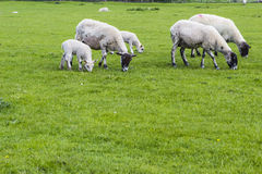 Flock of sheep on the meadow Royalty Free Stock Photography