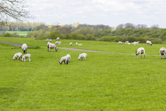 Flock of sheep on the meadow Stock Photography