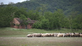 A flock of sheep in the meadow stock footage