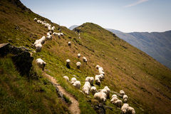 Flock of sheep in a meadow in the mountains in Romania.  stock image
