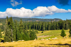 Flock of sheep on the meadow near  forest in mountains Royalty Free Stock Photos