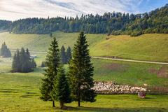 Flock of sheep on the meadow near  forest in mountains Stock Image