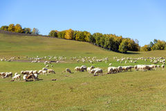 A flock of sheep in the meadow royalty free stock image