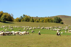 A flock of sheep in the meadow royalty free stock images